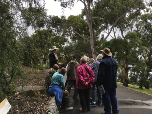 The endemic Eucalyptus cordata (Heart-leaved silver gum) with Dave Marrison