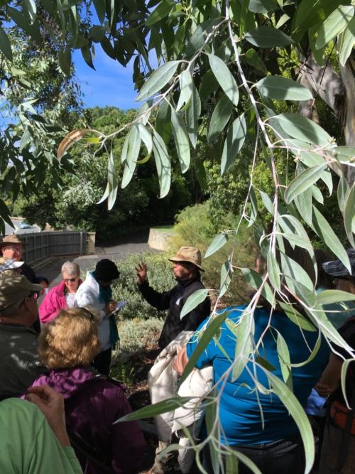 the rare endemic Eucalyptus risdonii (Risdon peppermint)