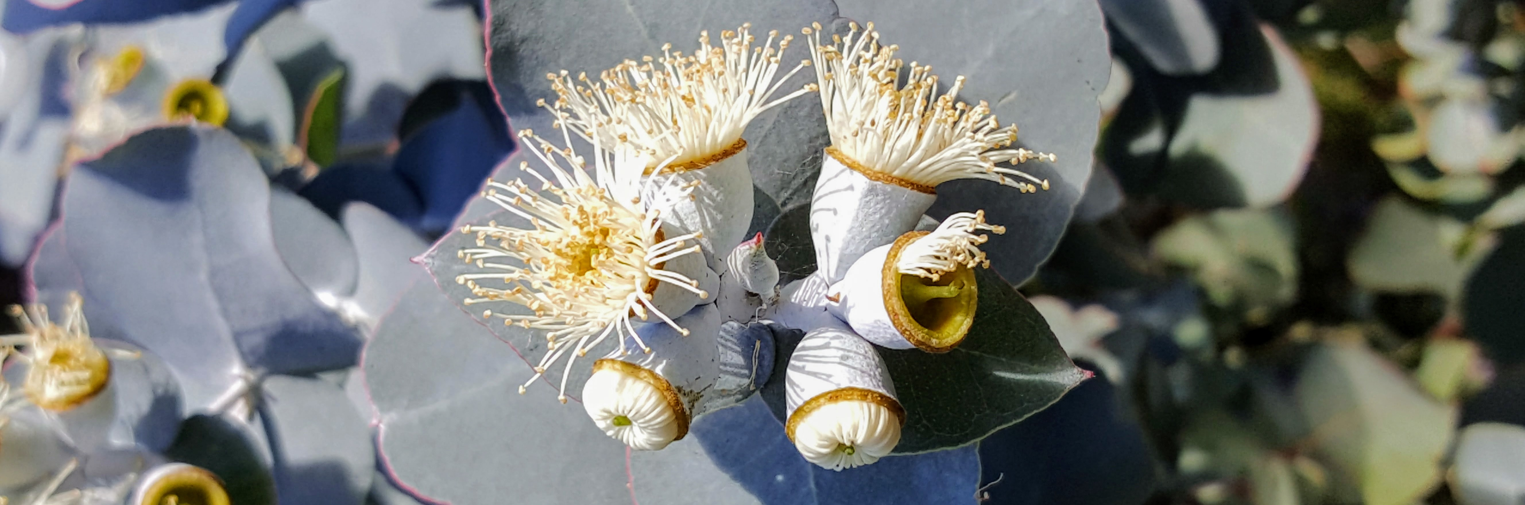 Eucalyptus-cordata-in-flower