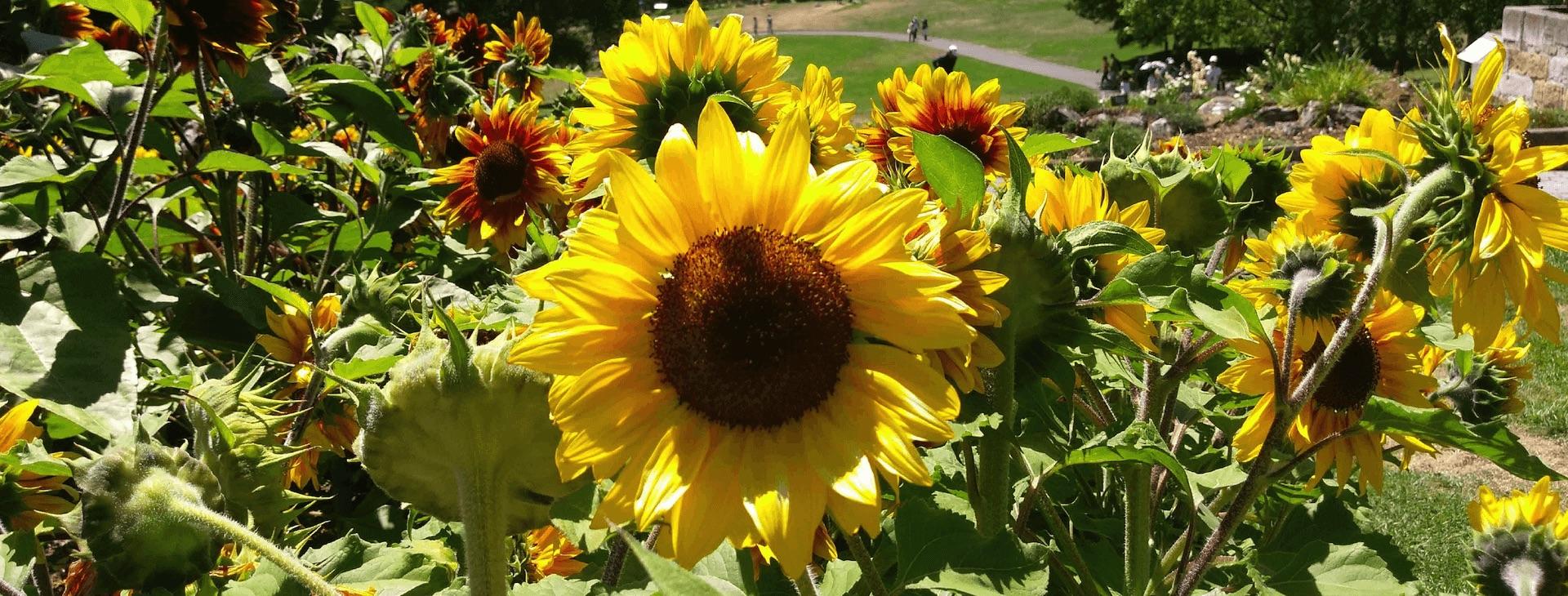 Royal Tasmanian Botanic Gardens Website - Sunflower image